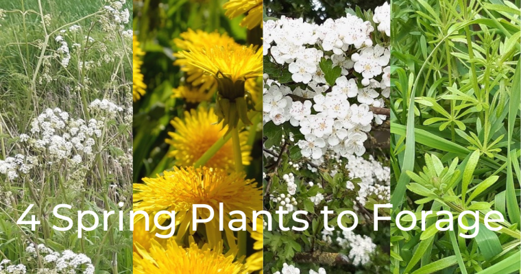 4 Plants to Forage this Spring